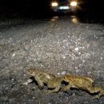 Artenschutz Amphibienwanderung Straße Herbert Stadelmann