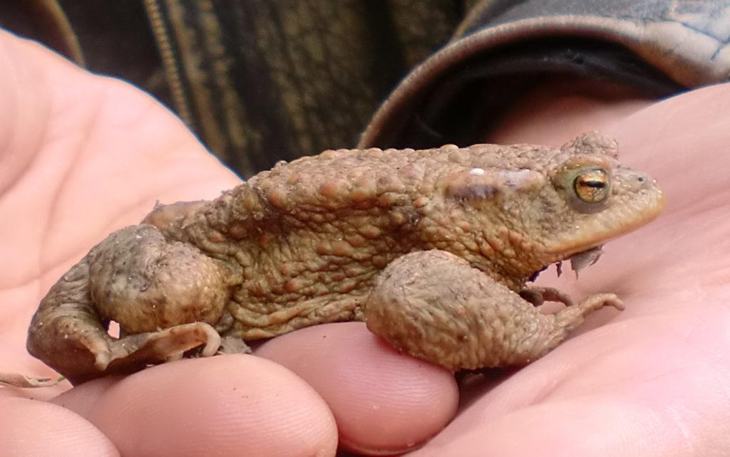 Amphibien Artenschutz Erdkroete gerettet bn ausschnitt