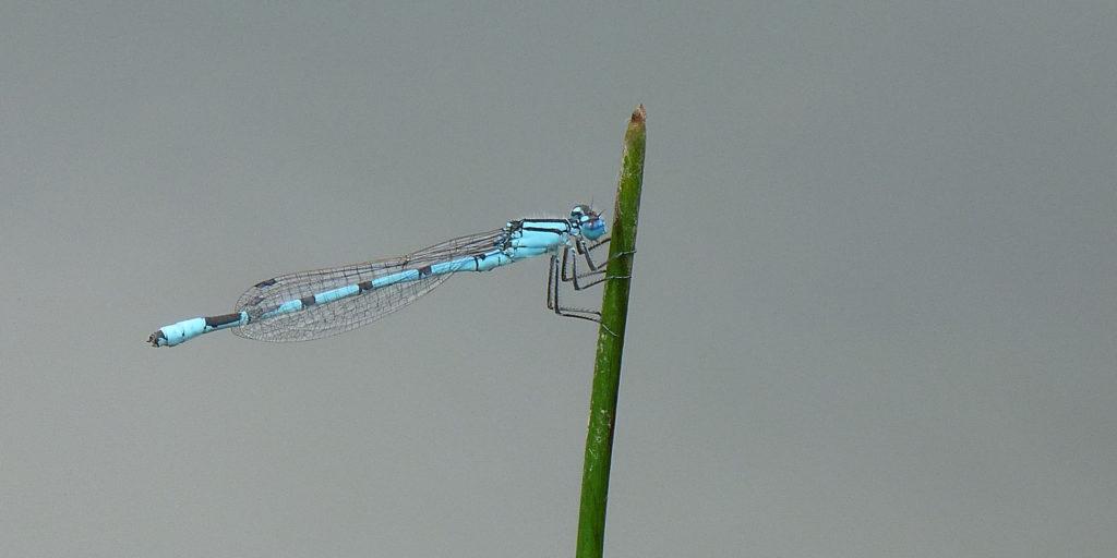 Libelle Artenschutz