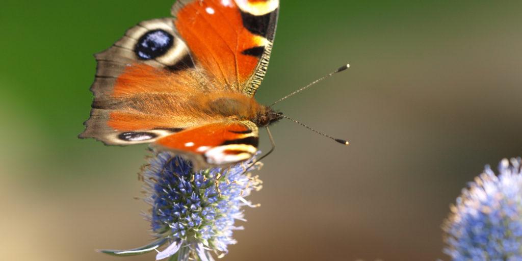 Tagfalter Schmetterling Uwe Hens