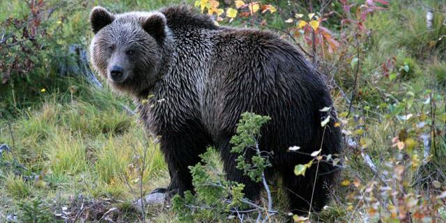 Walletschek Bär beschnitten