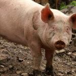 Bauernhof Landwirtschaft Schwein artgerecht