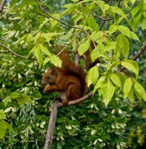 Eichhörnchen klein Foto: Hein Glück / pixelio.de