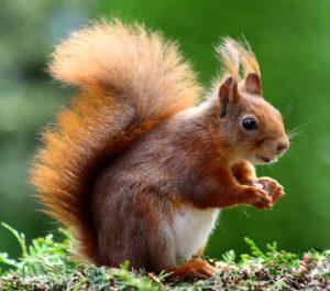 Eichhörnchen Foto: elli60 / pixelio.de