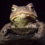 Erdkröte Nacht Amphibien Artenschutz
