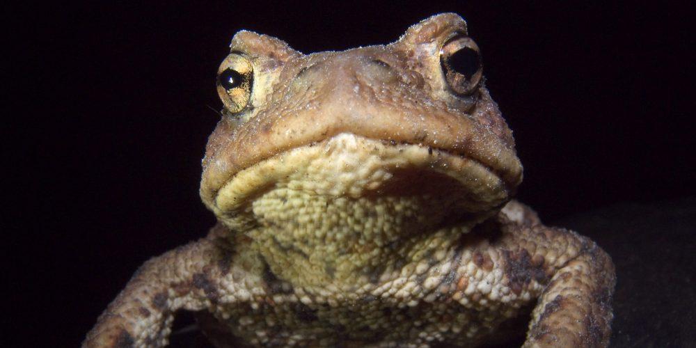 BUND Naturschutz sucht Helferinnen und Helfer für den Schutz von Fröschen und Kröten