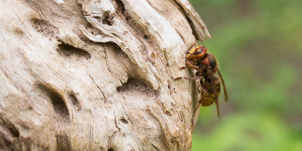 Hornissen, die friedlichen Insektenjäger