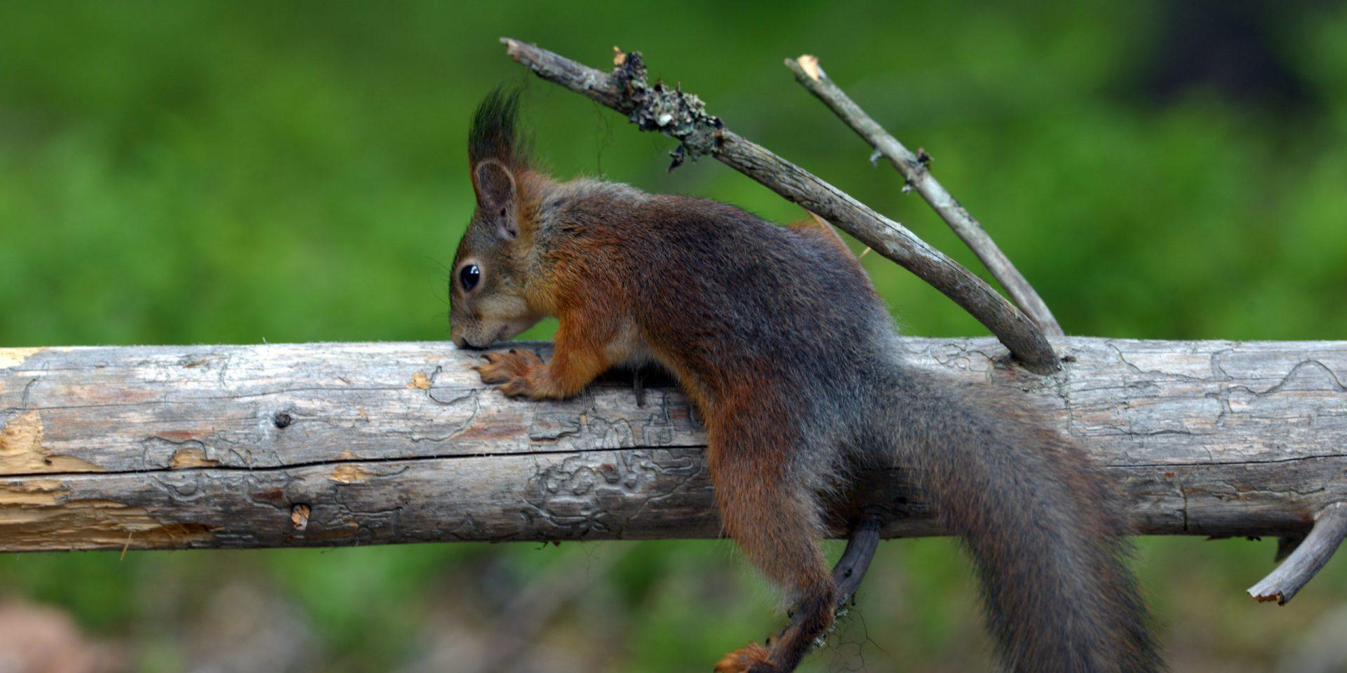 Eichhörnchen beobachten und melden!