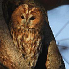 Sendung Februar 2017 – Jäger der Nacht – Der Waldkauz und seine Verwandten